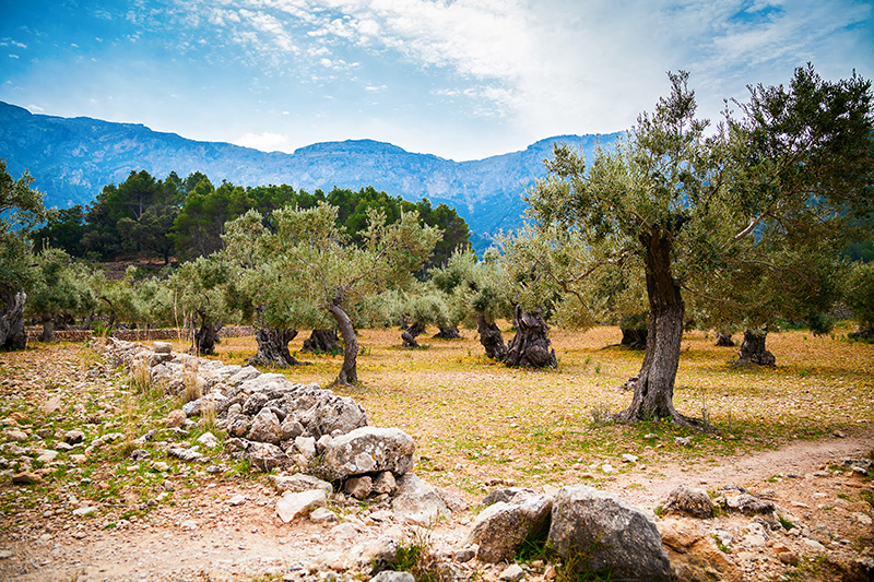 olivos mallorca